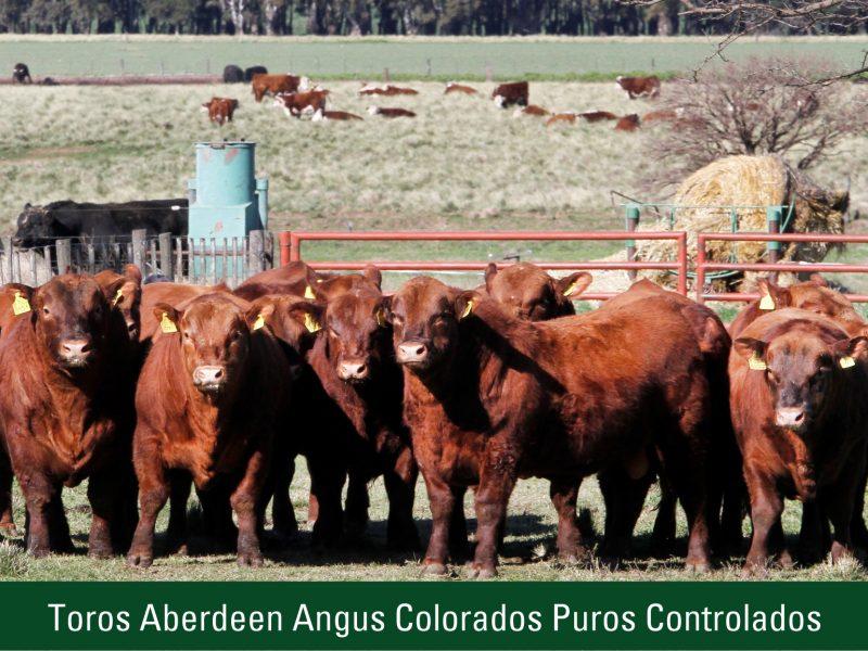 Toros Aberdeen Angus Colorados Puros Controlados