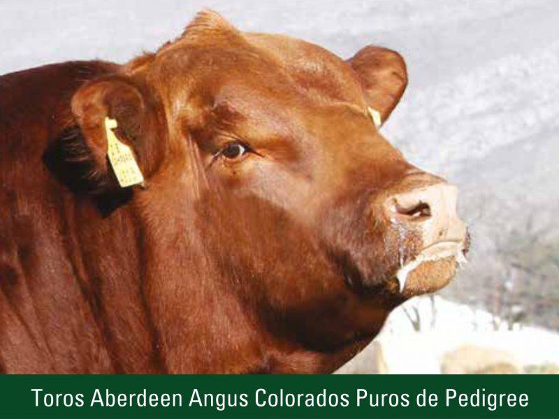 Toros Aberdeen Angus Colorados Puros de Pedigree