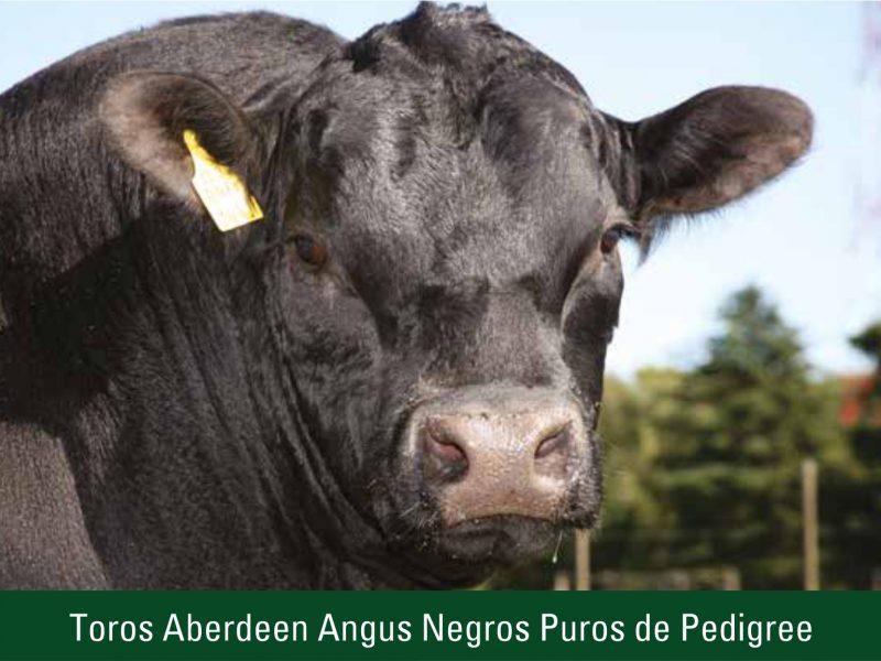 Toros Aberdeen Angus Negros Puros de Pedigree