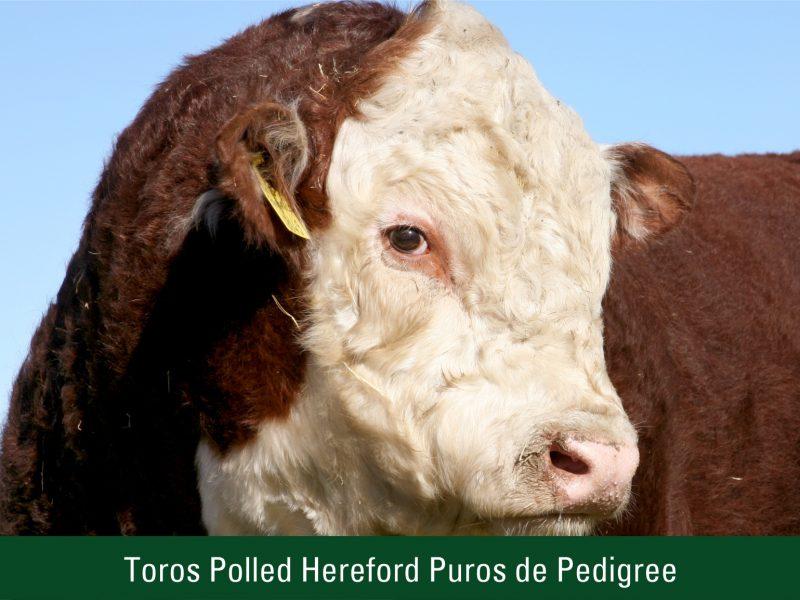 Toros Polled Hereford Puros de Pedigree