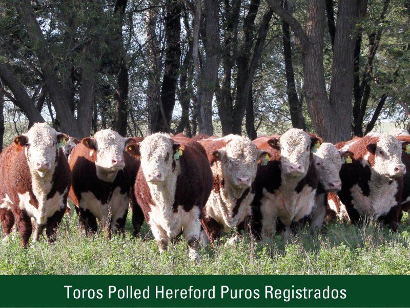 Toros Polled Hereford Puros Registrados