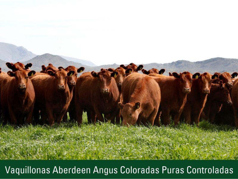 Vaquillonas Aberdeen Angus Coloradas Puras Controladas