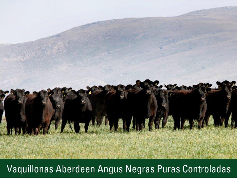 Vaquillonas Aberdeen Angus Negas Puras Controladas