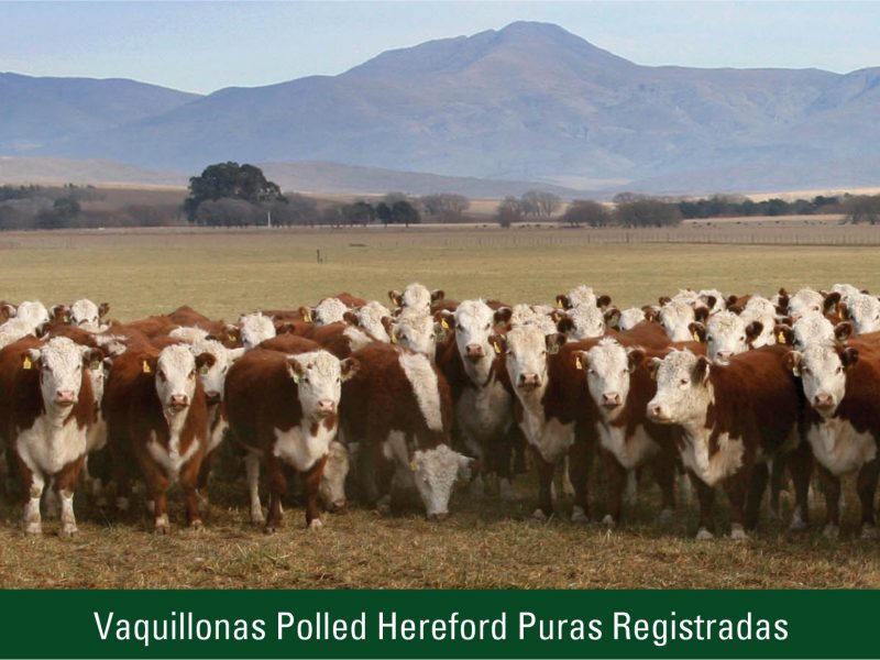 Vaquillonas Polled Hereford Puras Registradas