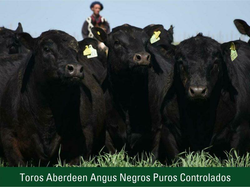 Toros Aberdeen Angus Negros Puros Controlados